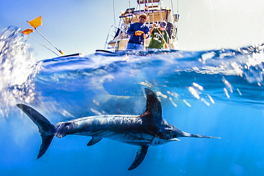 Swordfish (Xiphias gladius) biologists tagging fish to determine effectiveness of fishing gear, San Diego, California