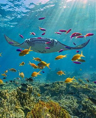Reef Manta Ray (Manta alfredi) and Basslet (Pseudanthias sp) school, Indonesia