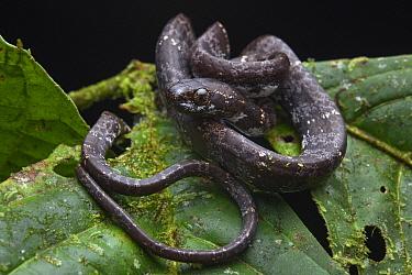 Clouded Snake (Sibon nebulatus), Mashpi Amagusa Reserve, Ecuador