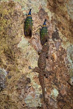 Four-clawed Gecko (Gehyra mutilata) guarding Lantern Fly (Pyrops whiteheadi) to feed on honeydew, Sepilok Forest Reserve, Sabah, Borneo, Malaysia