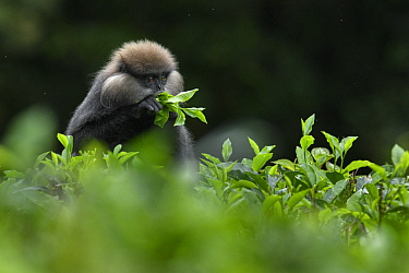 Purple-faced Langur (Trachypithecus vetulus) feeding in tea plantation, Sinharaja Forest Reserve, Sri Lanka