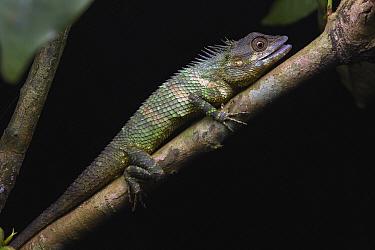 Sri Lanka Agama (Calotes liolepis), Kandy, Sri Lanka
