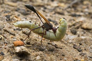 Wasp (Vespidae) carrying paralyzed caterpillar, Fianarantsoa Province, Madagascar