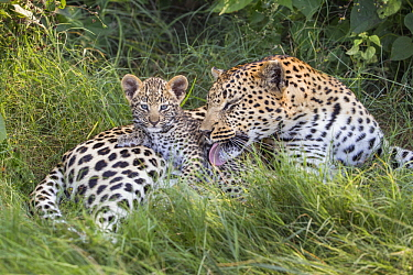 Leopard (Panthera pardus) mother grooming five-week-old cub, Jao Reserve, Botswana