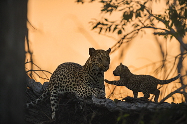 Leopard (Panthera pardus) mother and playful five-week-old cub, Jao Reserve, Botswana
