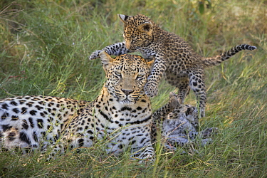Leopard (Panthera pardus) five-week-old cub jumping on mother, Jao Reserve, Botswana, sequence 1 of 3