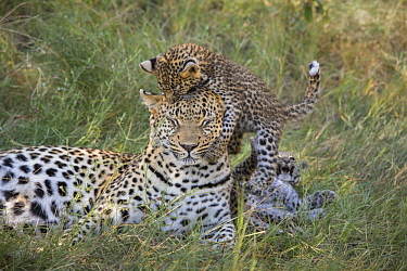 Leopard (Panthera pardus) five-week-old cub jumping on mother, Jao Reserve, Botswana,sequence 2 of 3