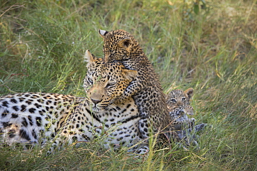 Leopard (Panthera pardus) five-week-old cub jumping on mother, Jao Reserve, Botswana, sequence 3 of 3
