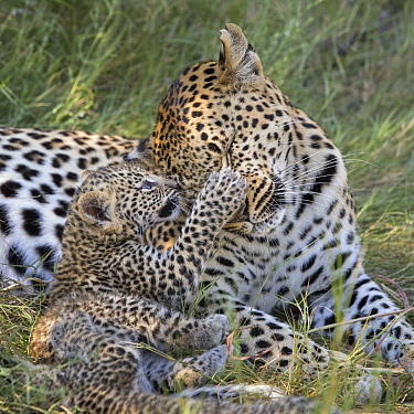 Leopard (Panthera pardus) five-week-old cub playing with mother, Jao Reserve, Botswana