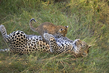 Leopard (Panthera pardus) five-week-old cub jumping on mother, Jao Reserve, Botswana