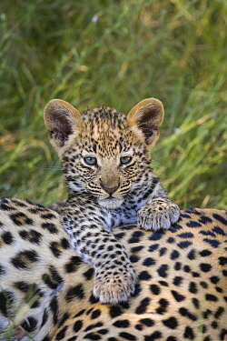 Leopard (Panthera pardus) five-week-old cub, Jao Reserve, Botswana