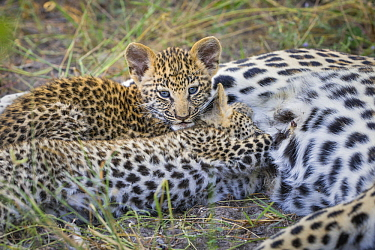 Leopard (Panthera pardus) five-week-old cubs nursing, Jao Reserve, Botswana