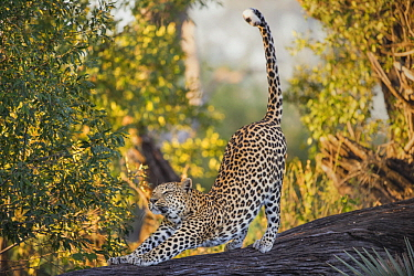 Leopard (Panthera pardus) female stretching, Jao Reserve, Botswana