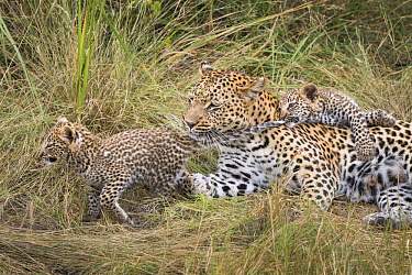 Leopard (Panthera pardus) six-week-old cub pulling sibling's tail with mother, Jao Reserve, Botswana