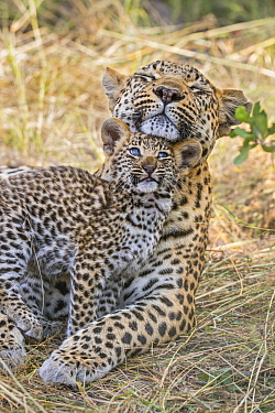 Leopard (Panthera pardus) six-week-old cub nuzzling mother, Jao Reserve, Botswana
