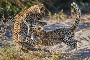 Leopard (Panthera pardus) six-week-old cubs playing, Jao Reserve, Botswana