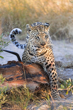 Leopard (Panthera pardus) female feeding on Thomson's Gazelle (Eudorcas thomsonii) kill, Jao Reserve, Botswana