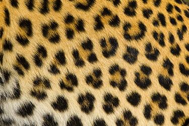 Leopard (Panthera pardus) fur, Jao Reserve, Botswana