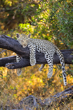 Leopard (Panthera pardus) four-month-old cub in tree, Jao Reserve, Botswana