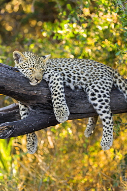 Leopard (Panthera pardus) four-month-old cub sleeping in tree, Jao Reserve, Botswana