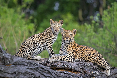 Leopard (Panthera pardus) mother and eight-month-old cub, Jao Reserve, Botswana