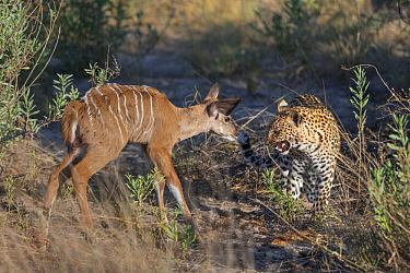 Leopard (Panthera pardus) one-year-old cub learning to kill Greater Kudu (Tragelaphus strepsiceros) calf after mother has injured it, Jao Reserve, Botswana
