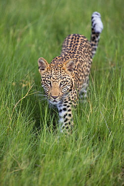 Leopard (Panthera pardus) one-year-old cub, Jao Reserve, Botswana