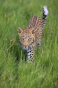 Leopard (Panthera pardus) one-year-old cub, Jao Reserve, Botswana