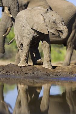 African Elephant (Loxodonta africana) calf drinking at waterhole, Mashatu Game Reserve, Botswana