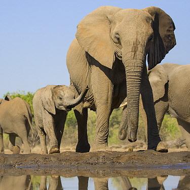 African Elephant (Loxodonta africana) mother and calf at waterhole, Mashatu Game Reserve, Botswana