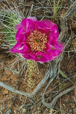 Plains Pricklypear (Opuntia polyacantha) cactus flowering, Arches National Park, Utah