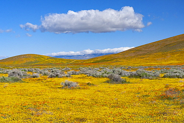 California Poppy (Eschscholzia californica) and Goldfield (Lasthenia californica) flowers, super bloom, Antelope Valley, California