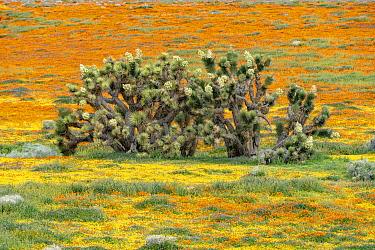 California Poppy (Eschscholzia californica) flowers and Joshua Trees (Yucca brevifolia), super bloom, Antelope Valley, California