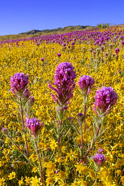 Purple Owl's Clover (Castilleja exserta) and Goldfield (Lasthenia californica) flowers, super bloom, Carrizo Plain National Monument, California