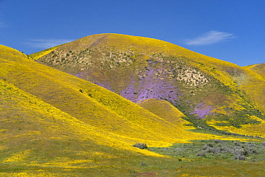 Lacy Phacelia (Phacelia tanacetifolia) and Hillside Daisy (Monolopia lanceolata) flowers, super bloom, Temblor Range, Carrizo Plain National Monument, California