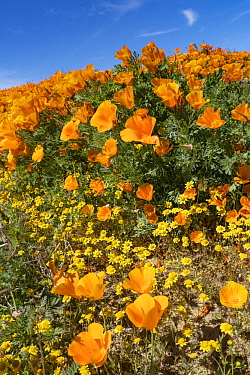California Poppy (Eschscholzia californica) flowers, super bloom, Antelope Valley, California