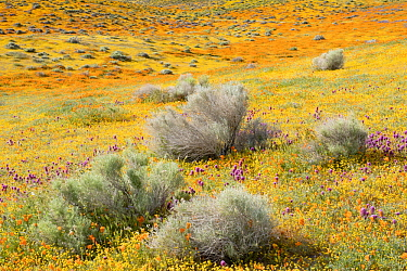 California Poppy (Eschscholzia californica), Purple Owl's Clover (Castilleja exserta) and Goldfield (Lasthenia californica) flowers, super bloom, Antelope Valley, California