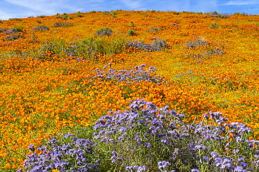 California Poppy (Eschscholzia californica) and Lacy Phacelia (Phacelia tanacetifolia) flowers,super bloom, Antelope Valley, California