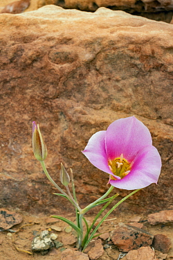 Sego Lily (Calochortus nuttallii) flowering, Arches National Park, Utah