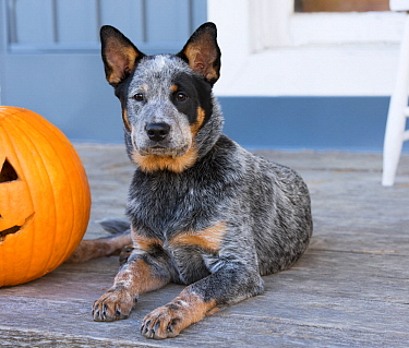 Australian Cattle Dog (Canis familiaris) puppy in autumn, North America
