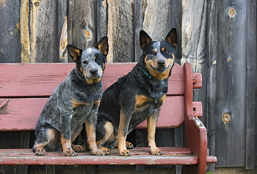 Australian Cattle Dog (Canis familiaris) and puppy, North America