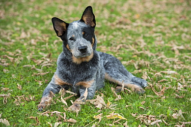 Australian Cattle Dog (Canis familiaris) puppy, North America
