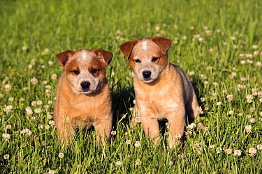Australian Cattle Dog (Canis familiaris) puppies, North America