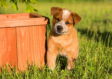 Australian Cattle Dog (Canis familiaris) puppy, North America