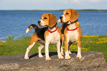 Beagle (Canis familiaris) pair, North America