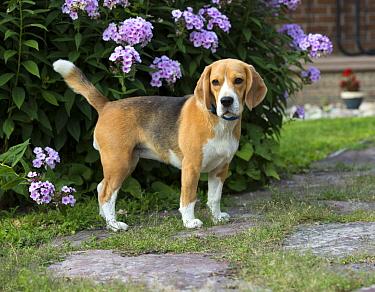 Beagle (Canis familiaris), North America