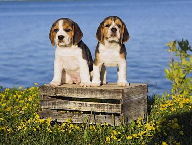 Beagle (Canis familiaris) puppies, North America