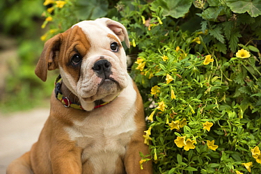 English Bulldog (Canis familiaris) puppy, North America