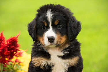 Bernese Mountain Dog (Canis familiaris) puppy, North America