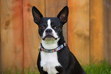 Boston Terrier (Canis familiaris), North America